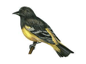 Scott's Oriole (Icterus Parisorum), Birds by Encyclopaedia Britannica