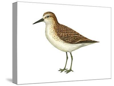 Semipalmated Sandpiper (Calidris Pusilla), Birds
