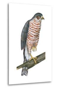 Sharp-Skinned Hawk (Accipiter Striatus), Birds by Encyclopaedia Britannica