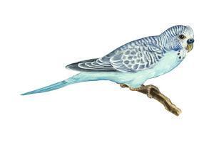 Shell Parakeet (Melopsittacus Undulatus), Birds by Encyclopaedia Britannica