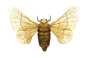 Silkworm Moth (Bombyx Mori), Chinese Silkworm, Insects by Encyclopaedia Britannica