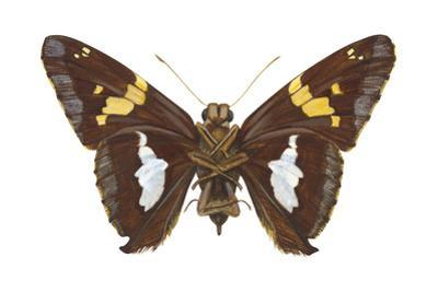 Skipper Butterfly - Underside (Epargyreus Clarus), Silver-Spotted Skipper, Insects by Encyclopaedia Britannica