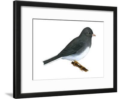 Slate-Colored Junco (Junco Hyemalis), Birds