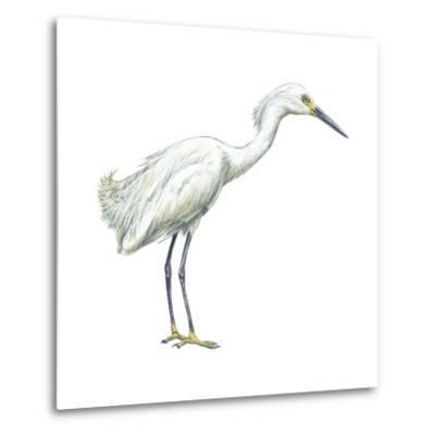 Snowy Egret (Leucophoyx Thula), Birds