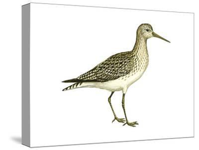 Solitary Sandpiper (Tringa Solitaria), Birds