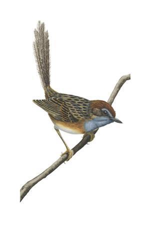 Southern Emu-Wren (Stipiturus Malachurus), Birds