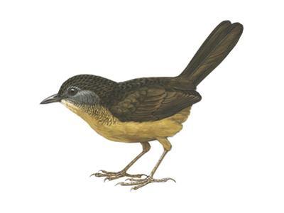 Streaked Long-Tailed Wren-Babbler (Spelaeornis Chocolatinus), Birds