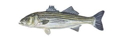 Striped Bass (Roccus Saxatilis), Fishes by Encyclopaedia Britannica