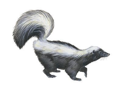 Striped Skunk (Mephitis Mephitis), Mammals by Encyclopaedia Britannica
