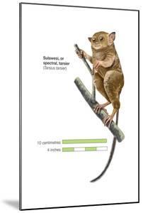 Sulawesi Tarsier or Spectral Tarsier (Tarsius Tarsier), Primate, Mammals by Encyclopaedia Britannica