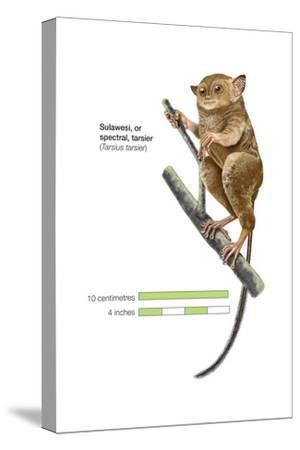 Sulawesi Tarsier or Spectral Tarsier (Tarsius Tarsier), Primate, Mammals