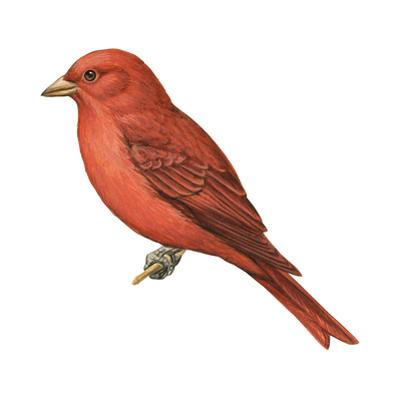 Summer Tanager (Piranga Rubra), Birds