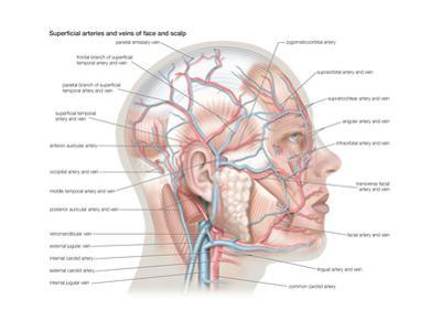 Superficial Arteries and Veins of Face and Scalp by Encyclopaedia Britannica