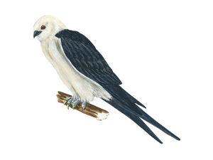 Swallow-Tailed Kite (Elanoides Forficatus), Birds by Encyclopaedia Britannica
