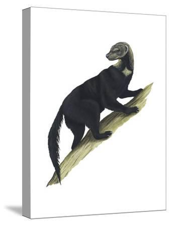 Tayra (Eira Barbara), Mammals