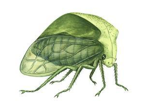 Treehopper (Ceresa Bubalus), Insects by Encyclopaedia Britannica