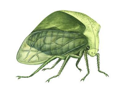 Treehopper (Ceresa Bubalus), Insects
