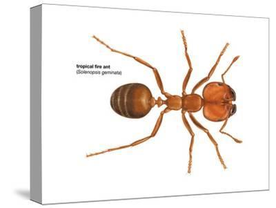 Tropical Fire Ant (Solenopsis Geminata), Insects