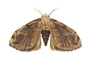 Tussock Moth (Hemerocampa Leucostigma), Insects by Encyclopaedia Britannica