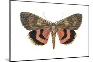 Underwing Moth (Catocala Ultronia), Ultronia Underwing, Insects by Encyclopaedia Britannica