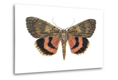 Underwing Moth (Catocala Ultronia), Ultronia Underwing, Insects