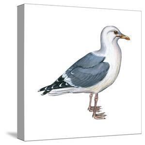 Western Gull (Larus Occidentalis), Birds by Encyclopaedia Britannica