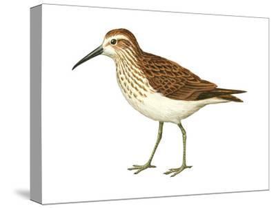 Western Sandpiper (Calidris Mauri), Birds