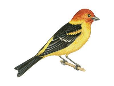 Western Tanager (Piranga Ludoviciana), Birds