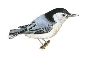 White-Breasted Nuthatch (Sitta Carolinensis), Birds by Encyclopaedia Britannica