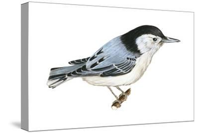 White-Breasted Nuthatch (Sitta Carolinensis), Birds