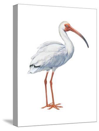 White Ibis (Eudocimus Albus), Birds