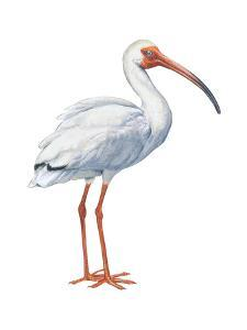 White Ibis (Eudocimus Albus), Birds by Encyclopaedia Britannica