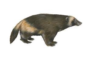 Wolverine (Gulo Gulo), Weasel, Mammals by Encyclopaedia Britannica