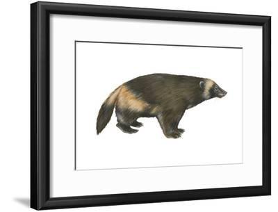 Wolverine (Gulo Gulo), Weasel, Mammals