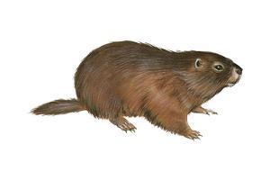 Woodchuck (Marmota Monax), Mammals by Encyclopaedia Britannica