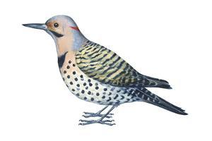 Yellow-Shafted Flicker (Colaptes Auratus), Birds by Encyclopaedia Britannica