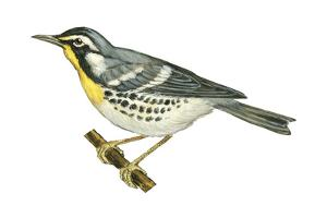 Yellow-Throated Warbler (Dendroica Dominica), Birds by Encyclopaedia Britannica