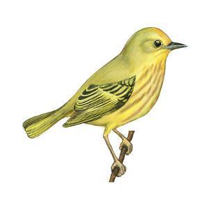Yellow Warbler (Dendroica Petechia), Birds by Encyclopaedia Britannica