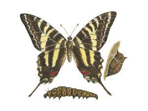 Zebra Swallowtail Butterfly, Caterpillar, and Pupae (Eurytides Marcellus), Insects by Encyclopaedia Britannica