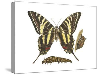 Zebra Swallowtail Butterfly, Caterpillar, and Pupae (Eurytides Marcellus), Insects