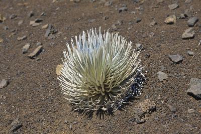 Endangered and Endemic Silversword at Haleakala Volcano Crater (Argyroxiphium Sandwicense Macroceph-Reinhard Dirscherl-Photographic Print
