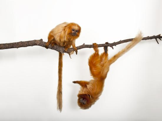 Endangered Golden Lion Tamarins, Leontopithecus Rosalia, at the Lincoln Children's Zoo-Joel Sartore-Photographic Print