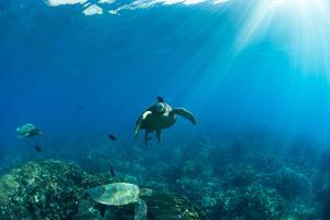 Endangered Green Sea Turtles over Coral Reef in the Pacific Ocean, Hawaii, USA