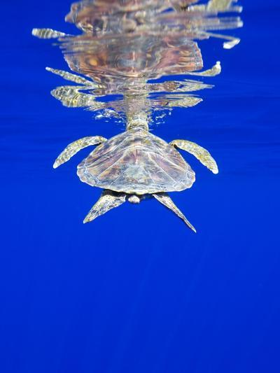 Endangered Green Turtle in Hawaii-Paul Souders-Photographic Print