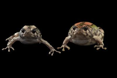 Endangered Malagasy Rainbow Frogs at the National Mississippi River Museum and Aquarium-Joel Sartore-Photographic Print