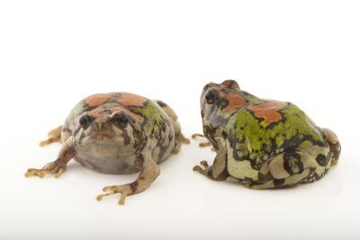 Endangered Malagasy Rainbow Frogs, Scaphiophryne Gottlebei-Joel Sartore-Photographic Print