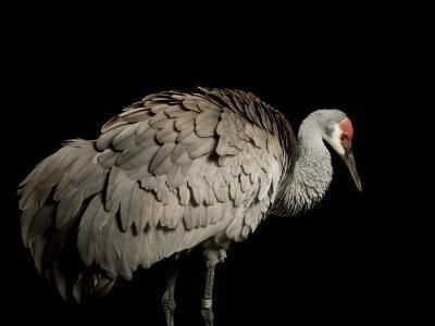 Endangered Mississippi Sandhill Crane-Joel Sartore-Photographic Print