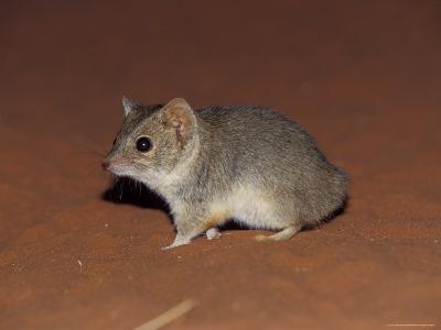 Endangered Mulgara, Ampurta, Hunting and Foraging on a Sand Dune, Australia-Jason Edwards-Photographic Print