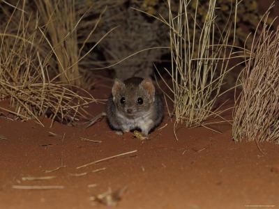 Endangered Mulgara, Ampurta, Hunting in Spinifex Sand Country, Alice Spring Desert Park, Australia-Jason Edwards-Photographic Print