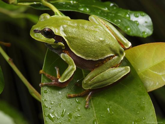 Endangered Pine Barrens Treefrog Hops Onto a Leaf-George Grall-Photographic Print